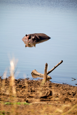lesotho: blur in south africa    kruger  wildlife  nature  reserve and  wild hippopotamus