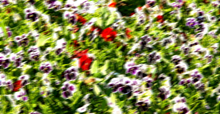 mauve: blur in the spring colors    flowers and   garden