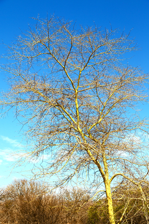 in south africa old tree and his branches in the clear sky like abstract background Stock Photo