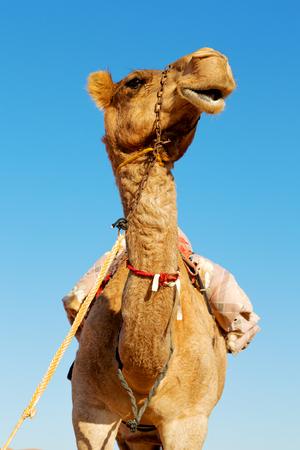 dromedary near the sky in oman empty quarter of desert a  free Stock Photo