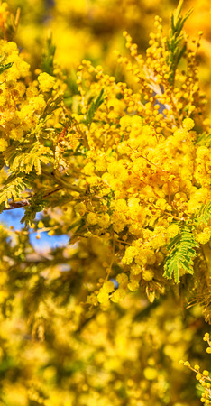 in south africa  wildlife  mimosa  plant and tree in the national park Stock Photo