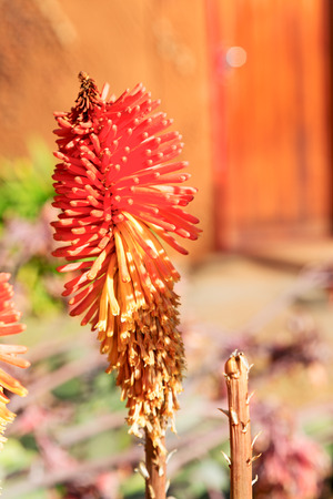 blur in south africa close up of the    red orange cactus flower and garden Stock Photo