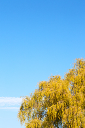 branches of willow weeping in the sky background