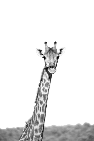 long nose: blur in south africa   kruger  wildlife  nature  reserve and  wild giraffe