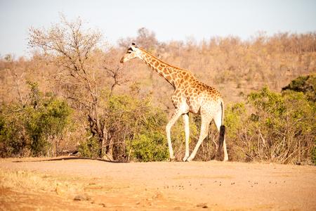 nakuru: blur in south africa   kruger  wildlife    nature  reserve and  wild giraffe