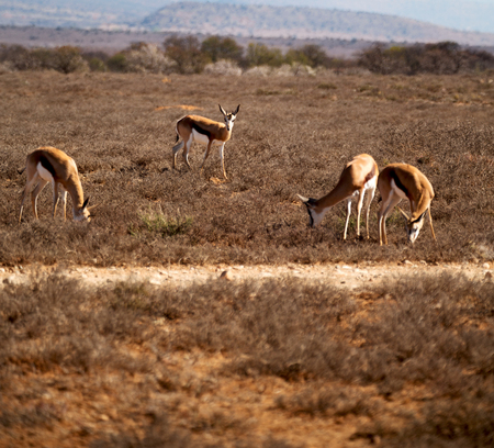adult kenya: blur  in kruger parck south africa wild impala in the winter bush Stock Photo