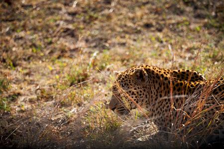blur in south africa kruger natural park wild leopard resting after hounting