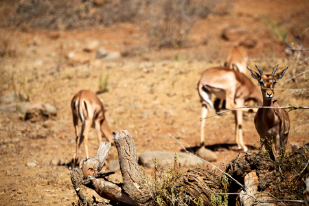 blur  in kruger parck south africa wild impala in the winter bush Stock Photo