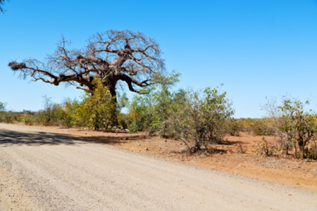 africa baobab tree: blur     in south africa rocky street and baobab near the bush and natural park