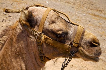 saddle camel: timanfaya spain africa brown dromedary bite in the volcanic  lanzarote