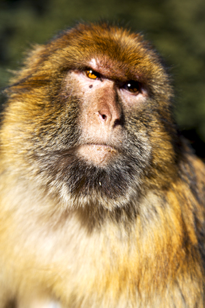 africa in morocco cedar forest the primitive  monkey animal wildlife
