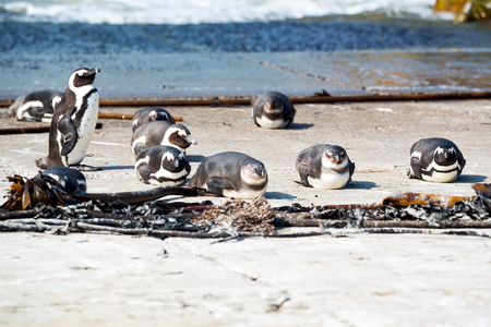 jackass: blur in south africa   bettys bay wildlife  nature  reserve birds  penguin and rocks