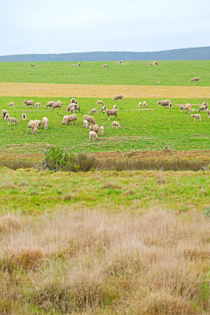 blur in south africa plant      land bush   and sheep  near the  hill