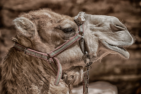 in petra jordan the head of a camel ready for the tourist tour Stock Photo