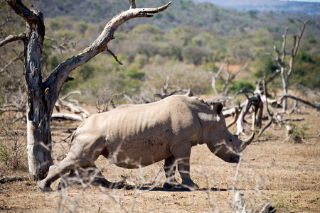 died: blur in south africa   kruger  wildlife    nature  reserve and  wild rhinoceros