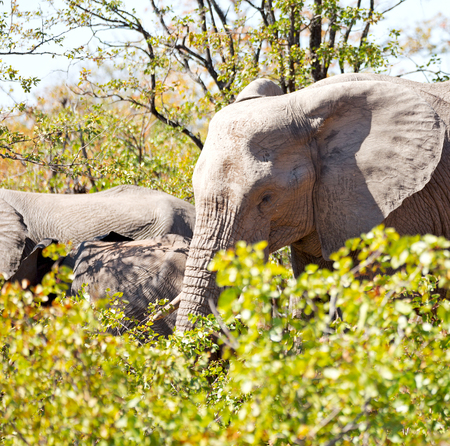 tusks: blur in south africa   kruger  wildlife  nature  reserve and  wild elephant