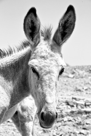 in petra jordan a donkey waiting for the tourist near the antique mountain