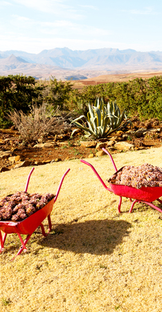 in lesotho africa the wheelbarrow near plant and cactus like nature concept Stock Photo