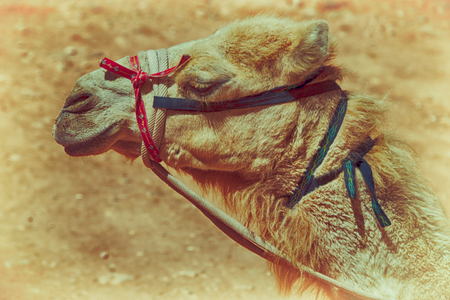 saddle camel: in petra jordan the head of a camel ready for the tourist tour Stock Photo
