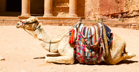 in petra jordan the camel for the tourist near the antique wonder site