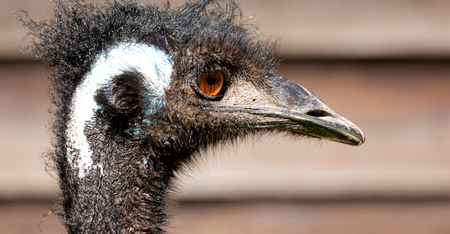 gray: in the park of australia the free emu bird and the background