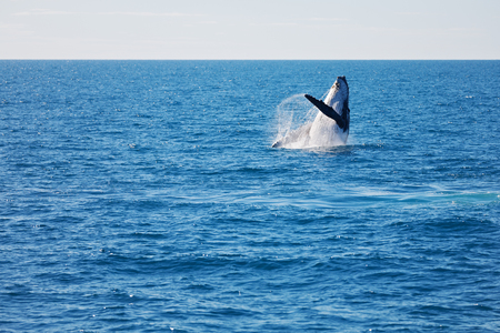 in australia a free whale in the ocean like concept of freedom