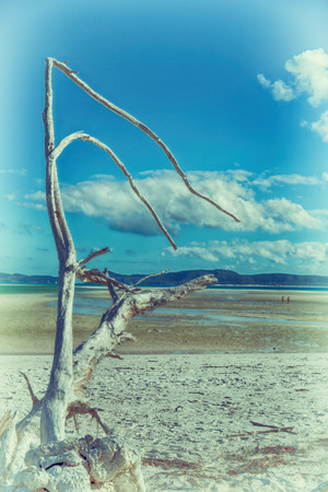 whitehaven beach: in australia whitsunday  island the tree and the beach in the paradise bay