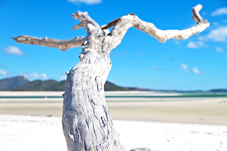 whitehaven beach: in australia. whitsunday island. the tree and the beach in the paradise bay