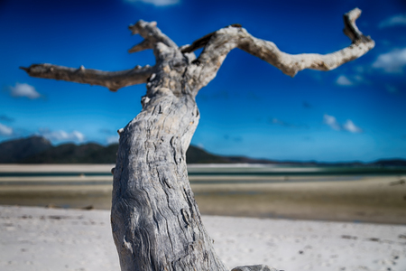in australia. whitsunday island. the tree and the beach in the paradise bay