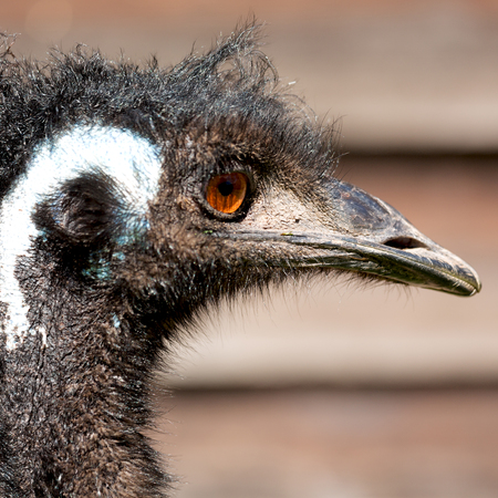 emu: in the park of australia. the free emu bird and the background