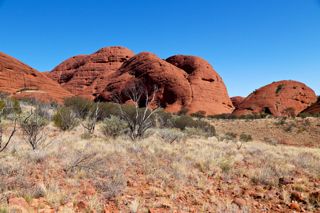olgas: in australia. the outback canyon and the dead tree near mountain in the nature