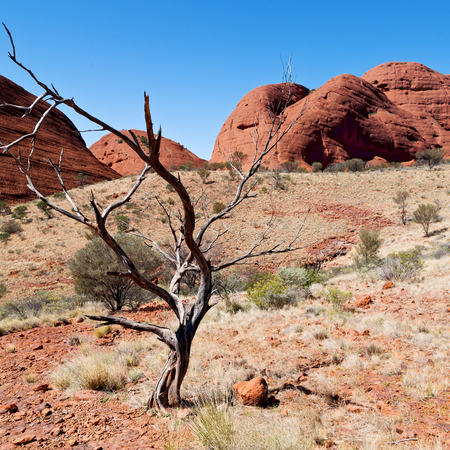 in  australia the outback canyon and the dead tree near  mountain in the nature