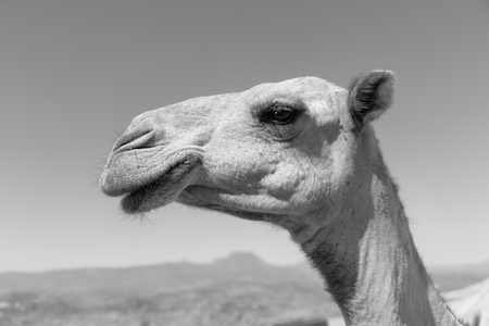 in  ethiopia africa   camel in the sky like abstract background Stock Photo