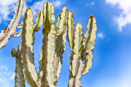 in  ethiopia africa   cactus plant texture like backround abstract in the sky