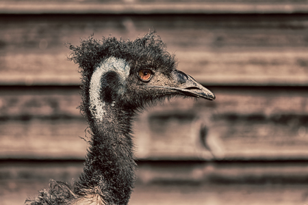 in the park of australia the free emu bird and the background