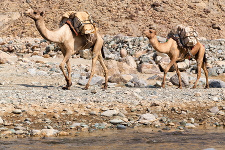 in  danakil ethiopia africa  in the  old dry river lots of camels with the mining salt walking in the valley to the market