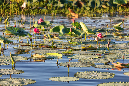 in  australia the concept of tranquility in the pond with waterlily aquatic blossom flower Stock Photo