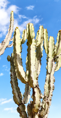 in ethiopia africa cactus plant texture like background abstract in the sky