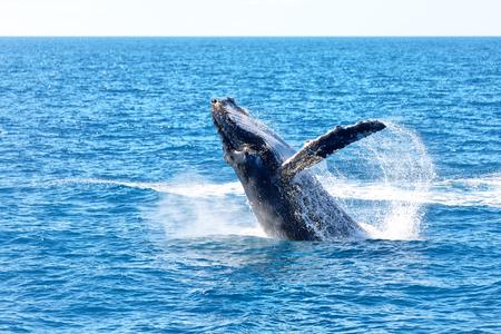en australie une baleine libre dans l & # 39 ; océan comme concept de liberté