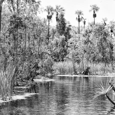 Palm in the Mataranka river Australia