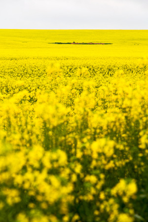 in south africa close up of the colza yellow field like  texture background Imagens