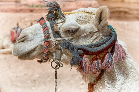 in petra jordan the head of a camel ready for the tourist tour Standard-Bild