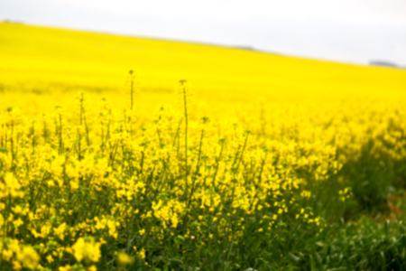 blur in south africa close up of the colza yellow field like   texture background Reklamní fotografie