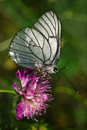 little white butterfly resting in a pink flower and green