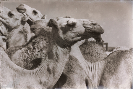 in  danakil ethiopia africa  in the  old market lots of camel ready to sell and the nature background