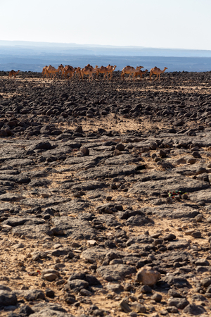 in  danakil ethiopia  africa  in the land of afar the rock desert and the camels caravan in the empty space