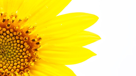 blurred sunflower in the white light and empty space background