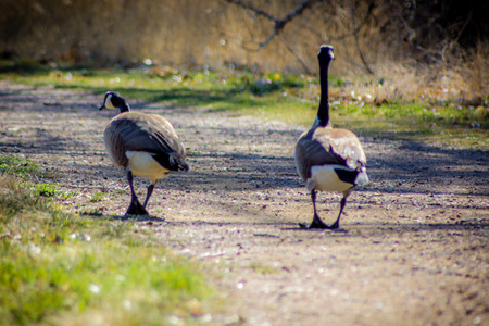 waddling: two geese waddling down dirt path from behind Stock Photo