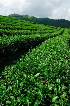 Green tea field, Chiangrai,Thailand photo