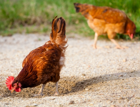 Brown chicken looking at sand photo